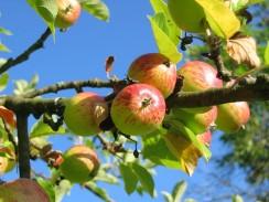 Apfelbaum beschneiden – die Grundlage für üppige Erträge